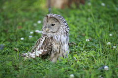 Owl in grass Stock Photo