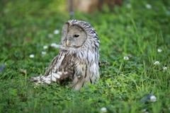 Owl in grass. Owl hunts mice on grass Stock Photo