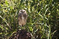 Owl Stock Image