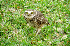 Owl on grass. Scared owl with big yellow eyes on grass in the wild royalty free stock image