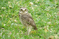 Owl on grass. Scared owl with big yellow eyes on grass in the wild stock photos