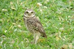 Owl on grass Stock Photos