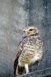 Owl on gray wall Royalty Free Stock Photo