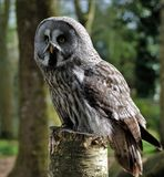 Owl, Great Grey Owl, Bird Of Prey, Bird Royalty Free Stock Image