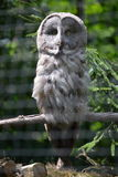 Owl - Great grey owl (Strix nebulosa). Great grey owl in the Prague ZOO Stock Images