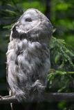 Owl - Great grey owl (Strix nebulosa). Great grey owl staring into the sun in the Prague ZOO Stock Images