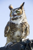 Owl. Great Horned Owl on handler's glove Royalty Free Stock Image