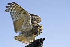 Owl. Great Horned Owl ready to fly Stock Image