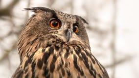 owl with great orange eyes royalty free stock photo