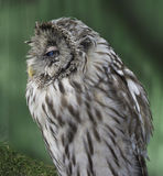 Owl. On a green background royalty free stock photography