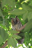 Owl on green tree Royalty Free Stock Image