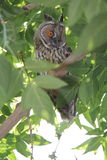 Owl on green tree Royalty Free Stock Photography