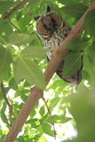 Owl on green tree Stock Images