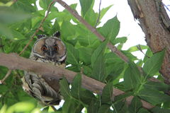 Owl on green tree Stock Photos