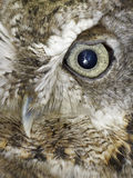Owl of grey owl Royalty Free Stock Image