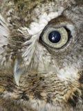 Owl of grey owl. Close up of a grey owl's eye and beak Royalty Free Stock Image