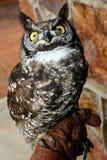 Owl on Hand Stock Image
