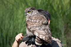 Owl on the hand of a falconer. An Owl on the hand of a falconer Royalty Free Stock Images