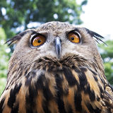 Owl head. Picture of the head of an owl Royalty Free Stock Photo
