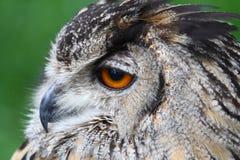 Owl head Stock Image