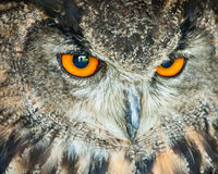 Owl head closeup Royalty Free Stock Photos