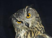 Free Owl Head Shot Royalty Free Stock Photography - 30845497