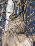 Owl. Here is a beautiful owl sitting on top of a dead tree Royalty Free Stock Image