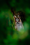 Owl hidden in the forest. Long-eared Owl sitting on the branch in the fallen larch forest during autumn. Wildlife scene from the n Stock Photos