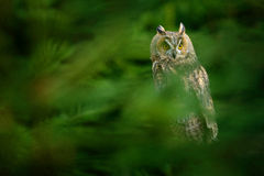 Owl hidden in the forest. Wildlife scene from the nature habitat. Bird on the spruce tree. Christmas with owl. Long-eared Owl sitt Royalty Free Stock Photography