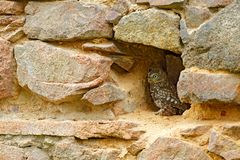 Owl hidden in stone wall, urban wildlife. Little Owl, Athene noctua, bird in the nature old house habitat, stone castle wall in Hu. Ngary. Nesting season stock photography