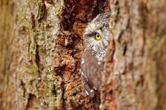 Owl hidden in tree nest hole in the forest. Little Owl, Athene noctua, bird in the nature habitat, with yellow eyes, Germany. Wildlife scene from nature. Tree royalty free stock image