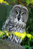 Owl hiden in the forest. Great grey owl, Strix nebulosa, sitting on old tree trunk with grass, portrait with yellow eyes. Animal i Royalty Free Stock Photos
