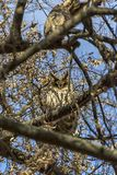 Owl hiding in a tree. Owl hiding between the branches of a tree Royalty Free Stock Photography