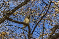 Owl hiding in a tree. Owl hiding between the branches of a tree Royalty Free Stock Photos