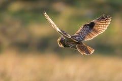 Owl Hovering espigado largo en la puesta del sol en Gran Bretaña foto de archivo libre de regalías