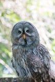 Owl Hunched Down Perching anziano saggio sul ceppo di albero fotografie stock