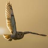 Owl Hunting à oreilles courtes au coucher du soleil en Grande-Bretagne Images stock