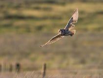 Owl Hunting à oreilles courtes au crépuscule Angleterre Photos stock