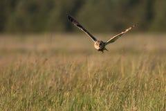Owl Hunting à oreilles courtes au crépuscule en Grande-Bretagne Images libres de droits