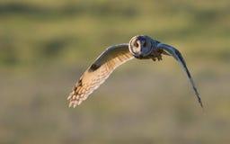 Owl Hunting à oreilles courtes dans la soirée en Grande-Bretagne Images libres de droits