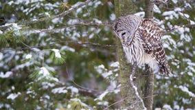 Owl Hunting barrado en invierno fotos de archivo libres de regalías