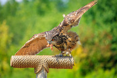 Owl hunting Royalty Free Stock Photography