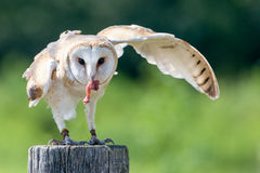 Owl hunting. The owl is hunting for food Royalty Free Stock Image