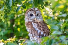 Owl i en tree Royaltyfri Fotografi