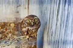 Owl i zooen Arkivfoton