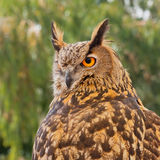 Owl iberian Royalty Free Stock Photo