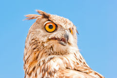 Owl iberian 2 Stock Photos