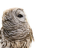 Owl Isolated barrado imagem de stock
