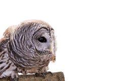 Owl Isolated barrado fotos de stock royalty free