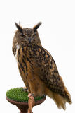 Owl  isolated Stock Photography